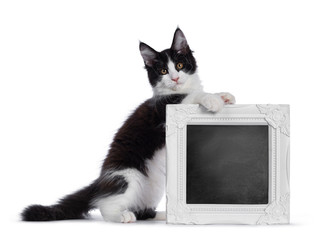 Wall Mural - Cute black and white solid bicolor masked Maine Coon cat kitten, sitting on hind paws behind / holding chalk board filled frame. Looking straight in lens with curious eyes. Isolated on white backgroun