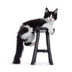Wall Mural - Cute black and white solid bicolor masked Maine Coon cat kitten, hanging side ways on wooden stool Looking straight in lens with curious eyes. Isolated on white background.