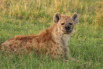 Fotobehang Hyena Spotted hyena resting, Masai Mara National Park, Kenya.