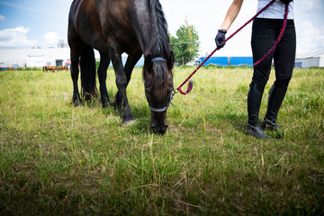 Grazing horse on a pasture. A woman leads a horse in a meadow