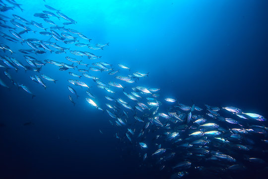 lot of small fish in the sea under water / fish colony, fishing, ocean wildlife scene
