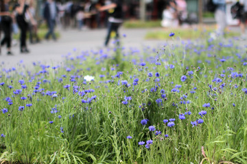 Cornflowers for greener city with blurry urban people in background