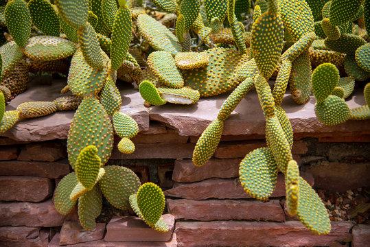 beautiful Cactus Opuntia species bunny ears in garden.