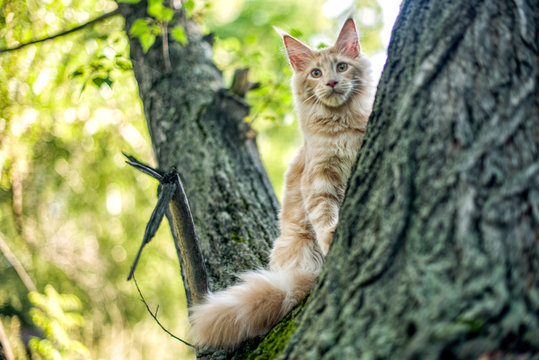 Funny big maine coon kitten sitting on a tree in forest, park on summer sunny day.