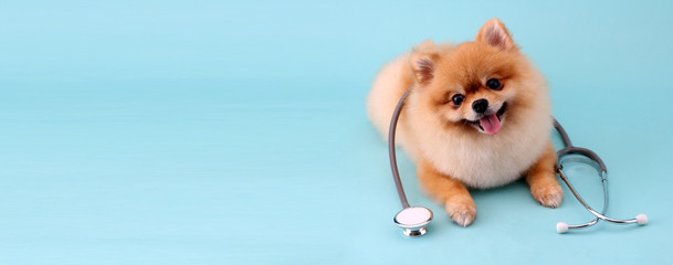 Poster Chien Cute little pomeranian dog with stethoscope as veterinarian on blue background.