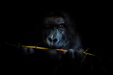 Gorilla black background Wall mural