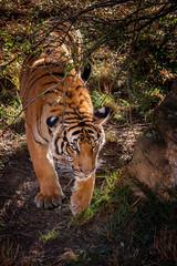 Wall Mural - Baby sumatran tiger