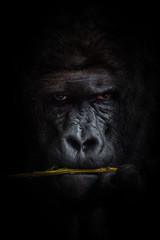 Foto op Aluminium Aap Gorilla black background