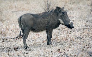 Warthog side view