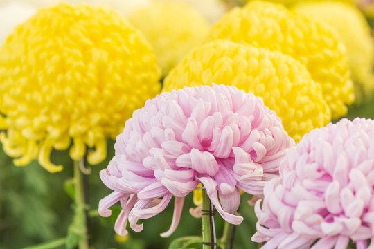 大輪の菊の花