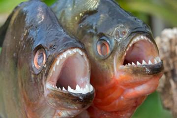 Close up of piranhas