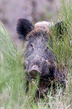 Close up of wild boar in grass