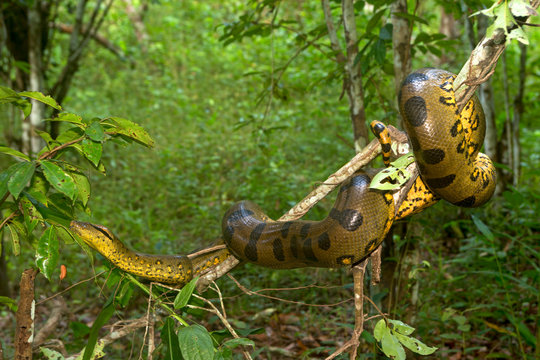 Common anaconda on branch