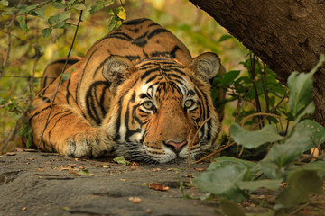 Portrait of Bengal tiger resting in Ranthambore National Park
