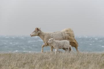 Ewe with lamb walking on grass