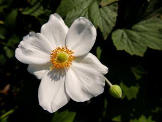 brillante macro di rosa selvatica bianca illuminata dal sole