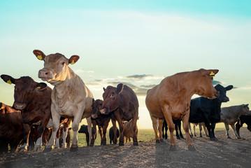 Fototapete - Deutsch-Angus Rinder auf einer Weide mit der aufgehenden Sonne im Hintergrund