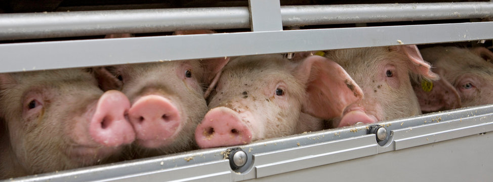 Pigs transport. Piglets. Animal transport. Animal welfare.