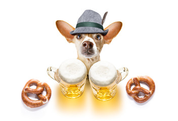 bavarian beer chihuahua dog