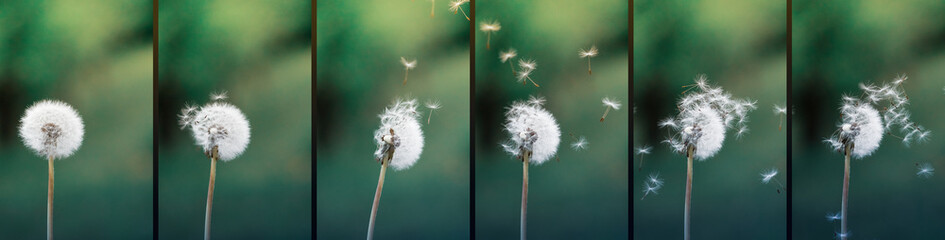 Foto op Canvas Paardenbloem Close up stripe view of a dandelion (Taraxacum) position during strong wind blowing. Seeds flying around. Flowers, green background.