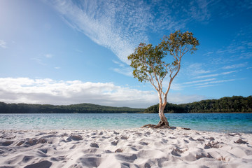 Tree with blue water and white sand at lake McKenzie Fraser Island Queensland australia