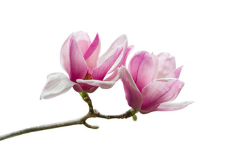 Photo sur Aluminium Magnolia Pink magnolia flowers isolated on white background