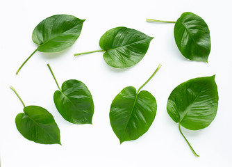 Green heart leaves philodendron on white