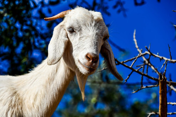 portrait of a goat, photo as background