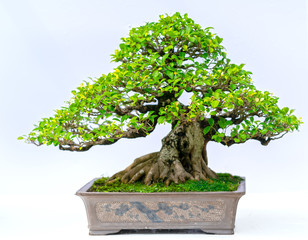 Papiers peints Bonsai Green old bonsai tree isolated on white background in a pot plant create beautiful art in nature. All to say in human life must be strong rise, patience overcome all challenges to live good and usefu