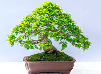 In de dag Bonsai Green old bonsai tree isolated on white background in a pot plant create beautiful art in nature. All to say in human life must be strong rise, patience overcome all challenges to live good and usefu