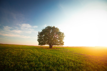 In de dag Bomen Lonely green oak tree in the field