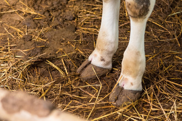 Cow's foot.Cow's legs in the cow stall.