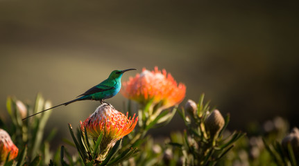 Sugarbird Hummingbird sitting on the endemic fynbos Pincushion protea flower in the western cape, Cape Town, South Africa.