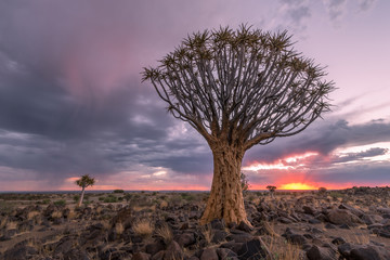 The Quiver Tree Forest in Namibia with moody storm clouds at sunset.