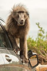 Naughty large wild dominant baboon playing around on a vehicle causing damage.