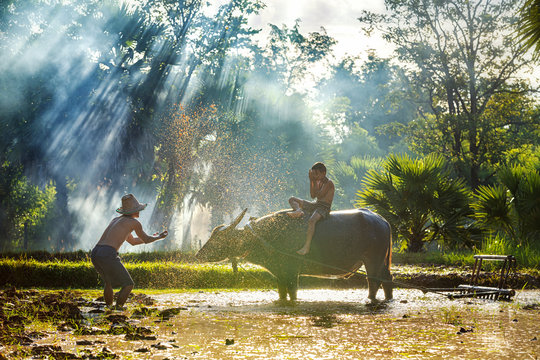 Farmers showering buffalo and children boy after plowing. The way of life of Southeast Asian people walking through rural areas rice fields, Sakon Nakhon Province, Thailand.