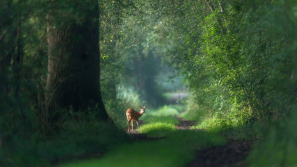 Wall Murals Road in forest Alert roe deer on a summer forest trail.
