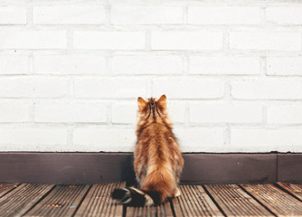 A kitten looking up on the wall. Siberian cat