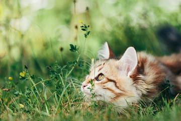 A kitten - Siberian cat hunting in grass Fototapete