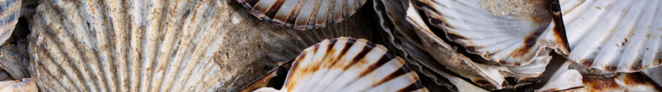 Banner size - Colorful textured scallop shells