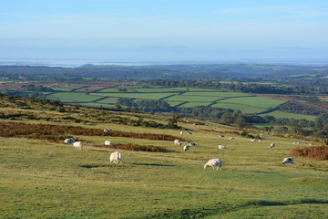 sheep grazing on Whitchurch Common, Dartmoor National Park, in the autumn.