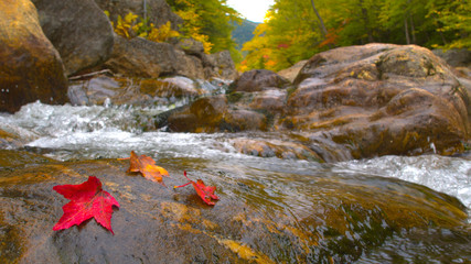 CLOSE UP: Red autumn tree leaves lying on mossy wet stone in rocky riverbed