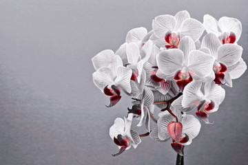A desaturated image of a Phalaenopsis orchid.