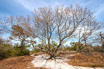Expansive Live Oak on a Barrier Island