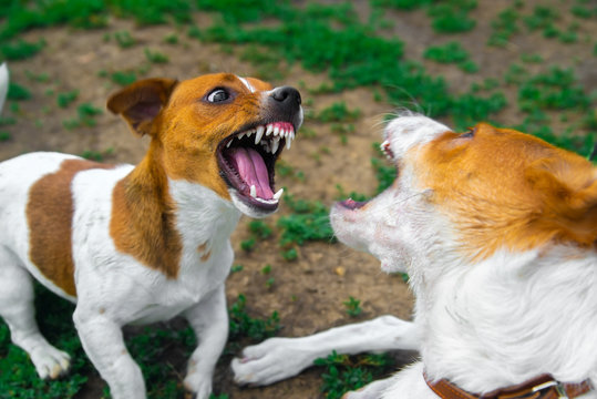two dogs are fighting on the street. Agressive dogs. Dog attack.