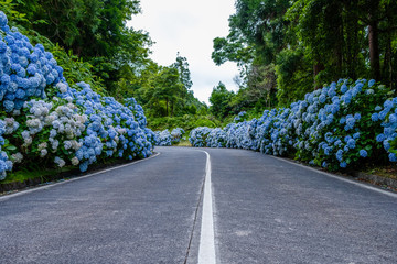 Empty road with white and blue hydrangea at the roadside at São Miguel, Azores - Portugal