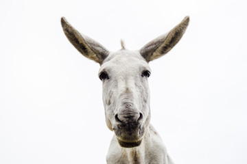 Poster Ezel Young and pretty white donkey looks at camera on white background.