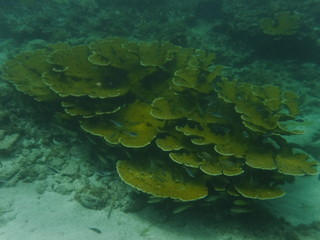 """Photo sous marine d'un corail """"corne d'élan"""""""