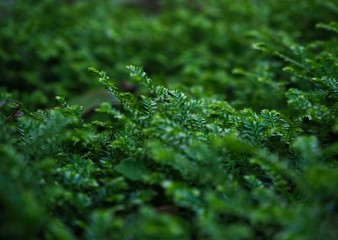 Beautiful green Selaginella 'Emerald Isle' Spikemoss in the shade.