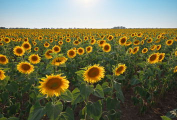 Wall Mural - Meadow of sunflower.